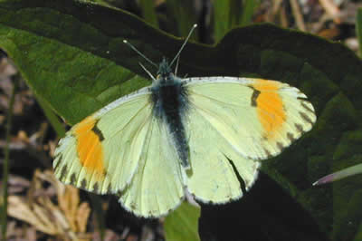 Anthocharis Sara (Sara Orange Tip)