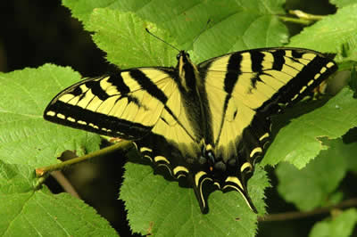 Swallowtail - Western Tiger