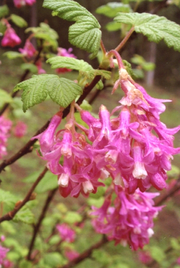 Ribes sangiuneum - Red Flowering Current (Hummingbird Plant)
